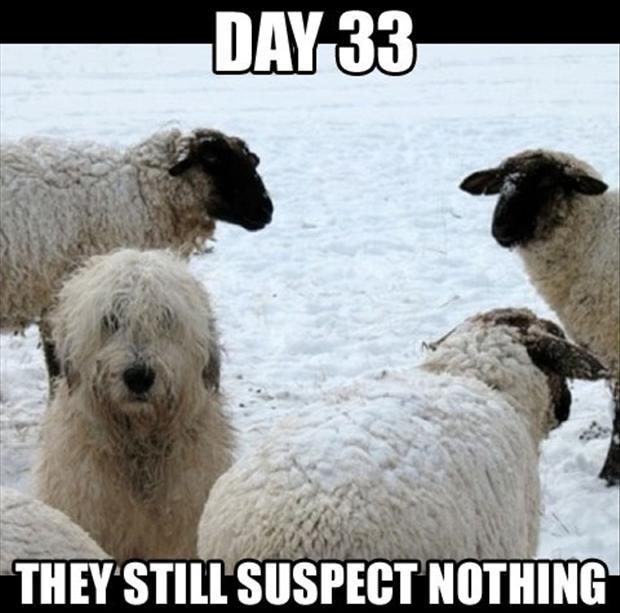 57666468-sheep-dog-funny-dogs2