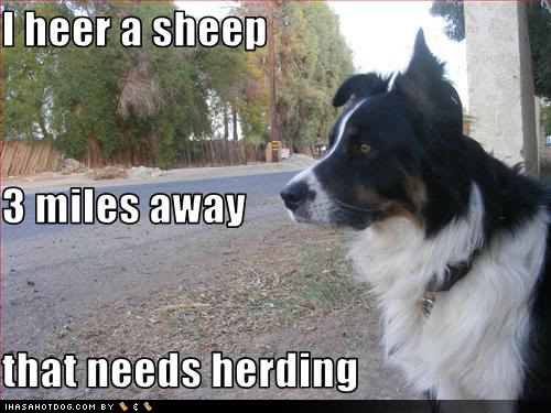funny-dog-pictures-sheep-herding