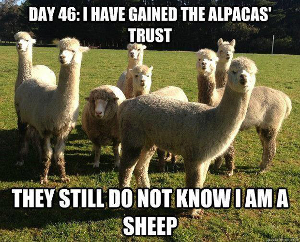 funny-sheep-between-alpacas